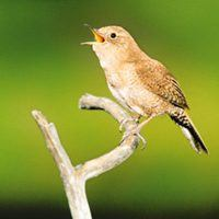 House Wren singing on branch, , Bird Photo, Wild Birds Unlimited, WBU