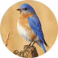 Eastern Bluebird, bird photo, Wild Birds Unlimited, WBU