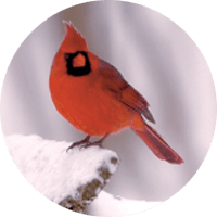 Northern Cardinal, bird photo, Wild Birds Unlimited, WBU