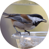 Chestnut-backed Chickadee, bird photo, Wild Birds Unlimited, WBU