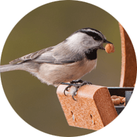 Mountain Chickadee, bird photo, Wild Birds Unlimited, WBU