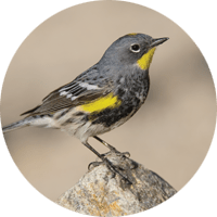 Yellow-rumped Warbler, bird photo, Wild Birds Unlimited, WBU