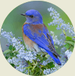 Bluebird, Wild Birds Unlimited, WBU