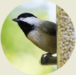Chickadee, Wild Birds Unlimited, WBU