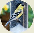 Goldfinch, Wild Birds Unlimited, WBU