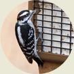 Woodpecker, Wild Birds Unlimited, WBU