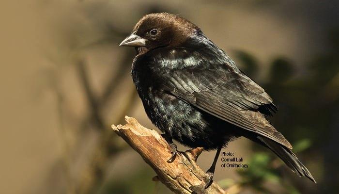 Brown-headed-Cowbird, Blackbird, Bird Photo, Wild Birds Unlimited, WBU