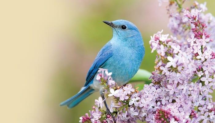 Mountain Bluebird, Bird Photo, Wild Birds Unlimited, WBU