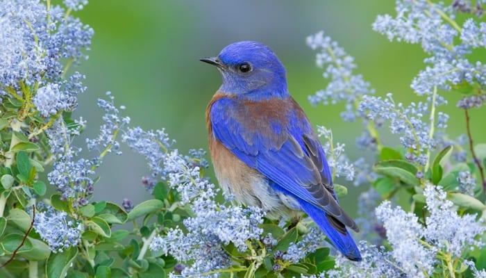 Western Bluebird, Bird Photo, Wild Birds Unlimited, WBU