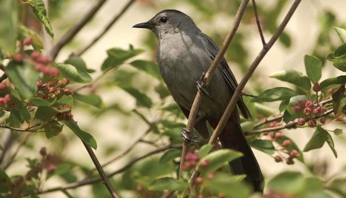 Catbird, Bird Photo, Wild Birds Unlimited, WBU