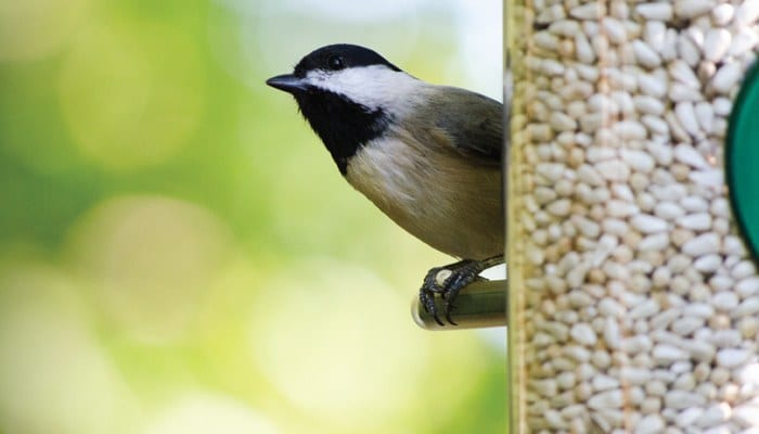 Black-capped Chickadee, Bird Photo, Wild Birds Unlimited, WBU