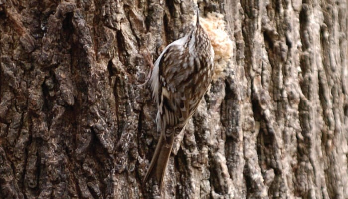 Brown Creeper, Bird Photo, Wild Birds Unlimited, WBU