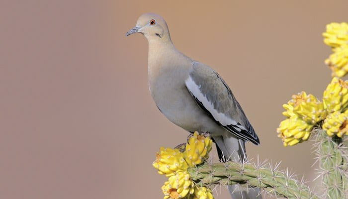 doves wild birds unlimited wild birds unlimited