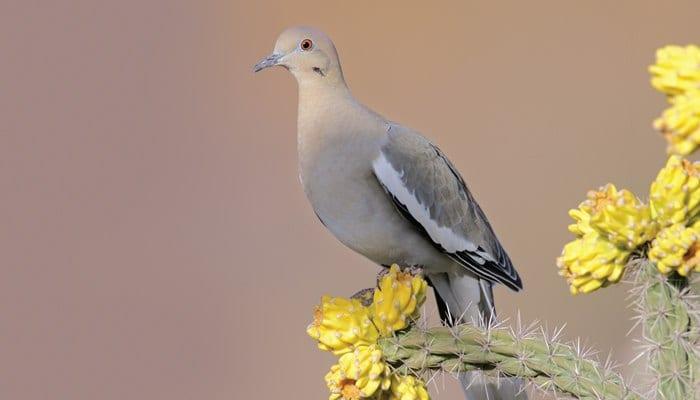 White-winged Dove, Bird Photo, Wild Birds Unlimited, WBU