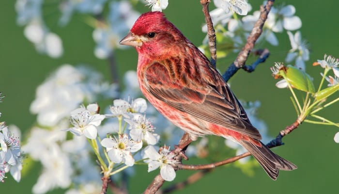 Purple Finch, Bird Photo, Wild Birds Unlimited, WBU