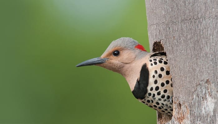 Northern Flicker, Bird Photo, Wild Birds Unlimited, WBU