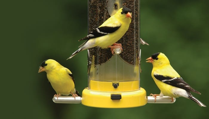Straight Seeds Nyjer, American Goldfinches, Bird Food, Wild Birds Unlimited, WBU