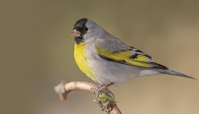 Lawrence's Goldfinch, Bird Photo, Wild Birds Unlimited, WBU