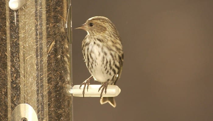Pine Siskin, Goldfinch, Bird Photo, Wild Birds Unlimited, WBU