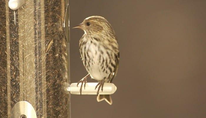 Pine Siskin, Goldfinch, Bird Photo, Wild Birds Unlimited, WBU