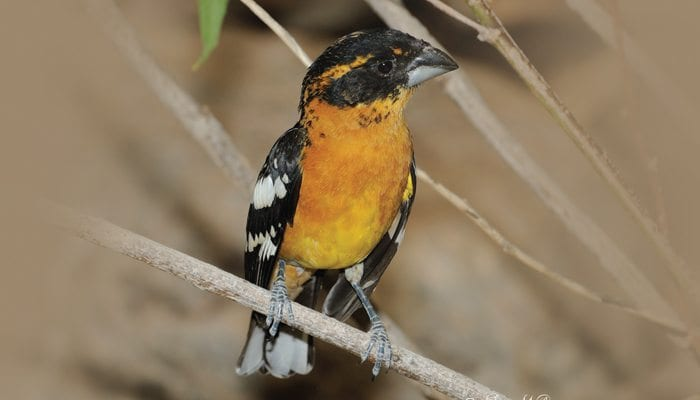Black-headed Grosbeak, Bird Photo, Wild Birds Unlimited, WBU