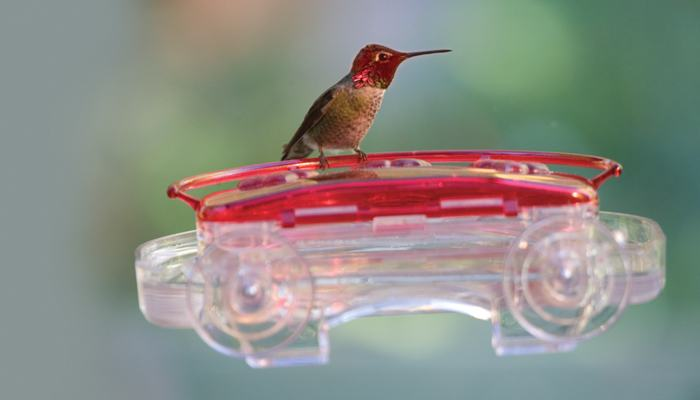 Anna's Hummingbird, Bird Photo, Wild Birds Unlimited, WBU