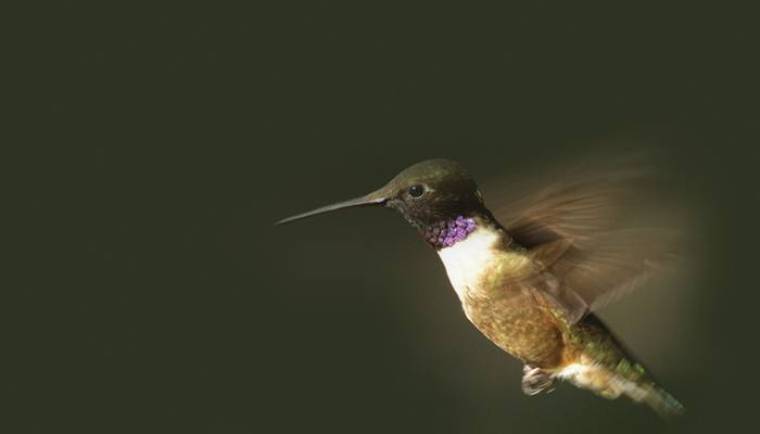 Black-chinned Hummingbird, Bird Photo, Wild Birds Unlimited, WBU
