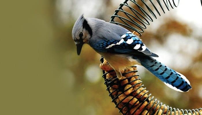 Blue Jay Bird Photo Wild Birds Unlimited Wbu