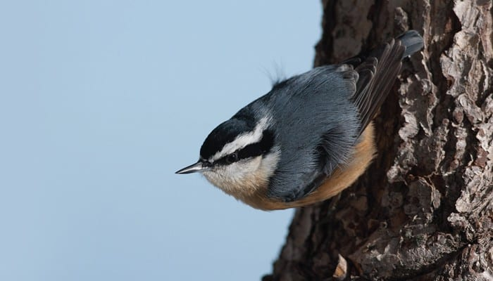 Red-breasted Nuthatch, Bird Photo, Wild Birds Unlimited, WBU