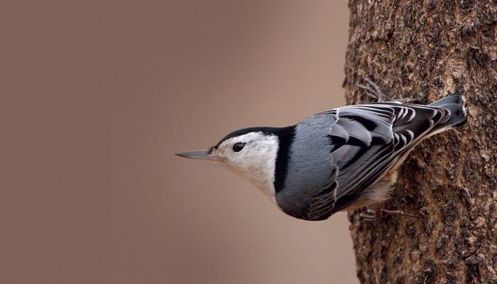 White-breasted Nuthatch, Bird Photo, Wild Birds Unlimited, WBU