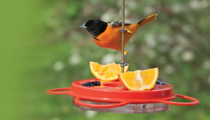 Baltimore Oriole, Bird Photo, Wild Birds Unlimited, WBU