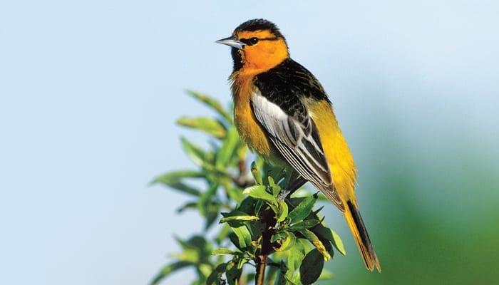 Bullock's Oriole, Bird Photo, Wild Birds Unlimited, WBU