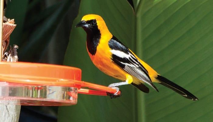 Hooded Oriole, Bird Photo, Wild Birds Unlimited, WBU