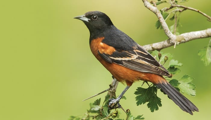 Orchard Oriole, Bird Photo, Wild Birds Unlimited, WBU