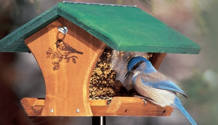 Western Scrub-Jay, Bird Photo, Wild Birds Unlimited, WBU