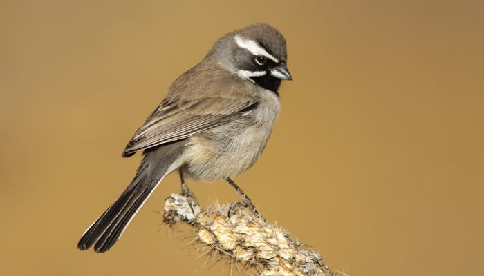 Black-throated Sparrow, Bird Photo, Wild Birds Unlimited, WBU