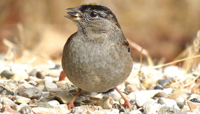 Golden-crowned Sparrow, Bird Photo, Wild Birds Unlimited, WBU