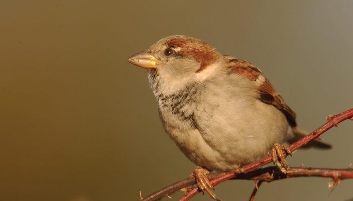 House Sparrow, Bird Photo, Wild Birds Unlimited, WBU