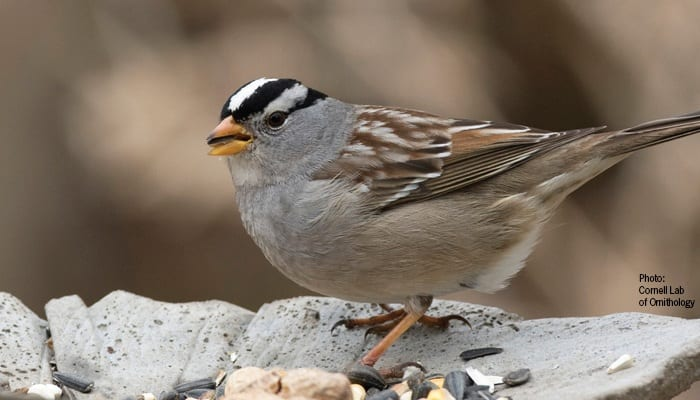 White-crowned Sparrow, Bird Photo, Wild Birds Unlimited, WBU