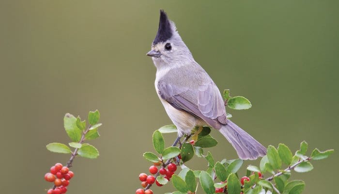 Black-crested Titmouse, Bird Photo, Wild Birds Unlimited, WBU