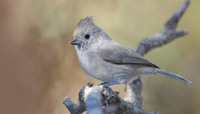 Oak Titmouse, Bird Photo, Wild Birds Unlimited, WBU