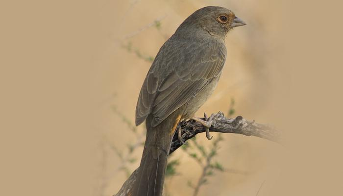 California Towhee, Bird Photo, Wild Birds Unlimited, WBU