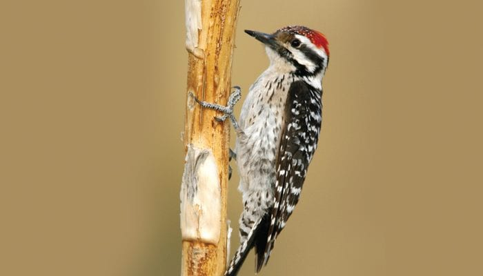 Ladder-backed Woodpecker, Bird Photo, Wild Birds Unlimited, WBU