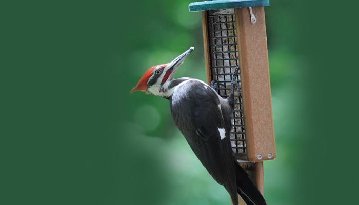 Pileated Woodpecker, Bird Photo, Wild Birds Unlimited, WBU