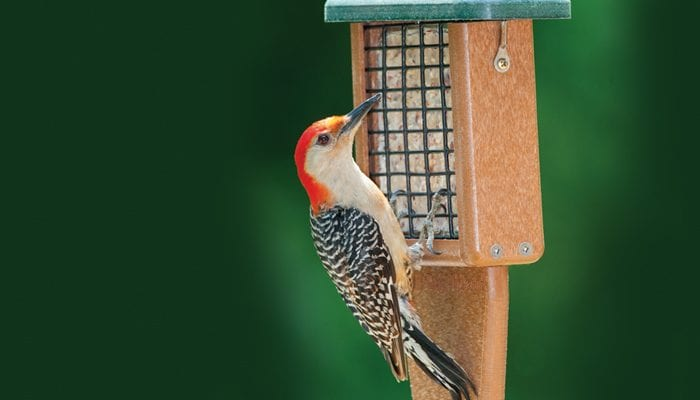 Red-bellied Woodpecker, Bird Photo, Wild Birds Unlimited, WBU