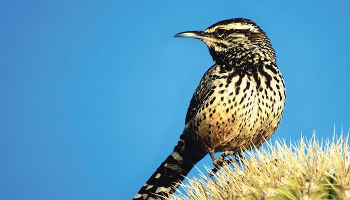 Cactus Wren, Bird Photo, Wild Birds Unlimited, WBU