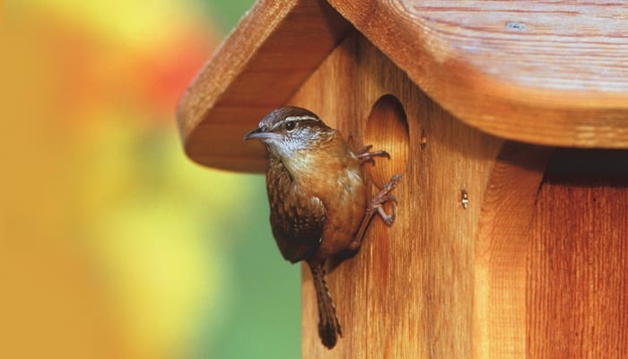 Carolina Wren, Bird Photo, Wild Birds Unlimited, WBU
