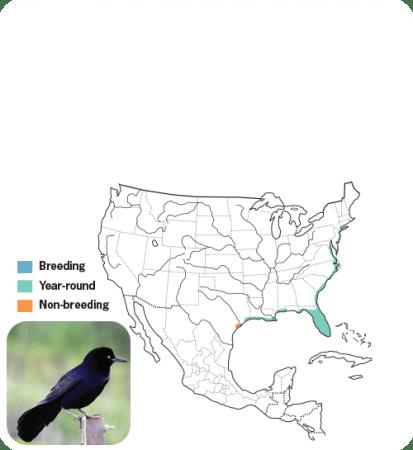Boat-tailed Grackle Range Map, Wild Birds Unlimited, WBU