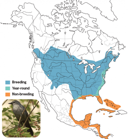Gray Catbird Range Map, Wild Birds Unlimited, WBU