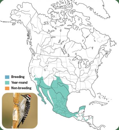 Ladder-backed Woodpecker Range Map, Wild Birds Unlimited, WBU